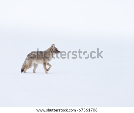 Coyote during winter in Yellowstone - stock photo