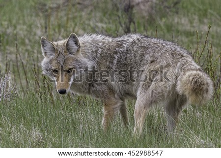 Coyote Hunting in Banff National Park, Alberta, Canada - stock photo