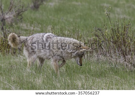 Coyote Hunting Vole in Banff National Park - stock photo