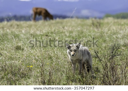 Coyote in Farmer's Field - stock photo