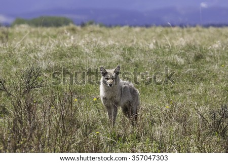 Coyote in Field  - stock photo