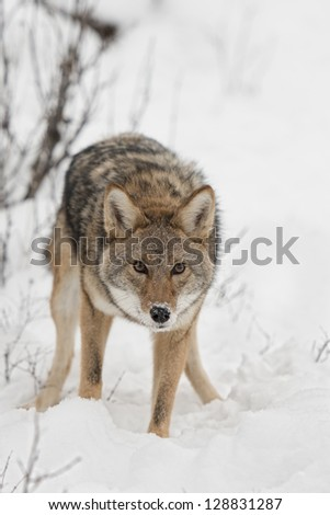 Coyote in SNow - stock photo