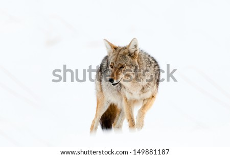 Coyote in Snow - Yellowstone National Park - stock photo