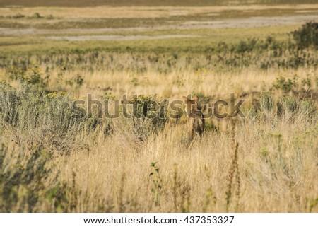 Coyote in the grasslands facing away near the Great Salt Lake in Utah - stock photo