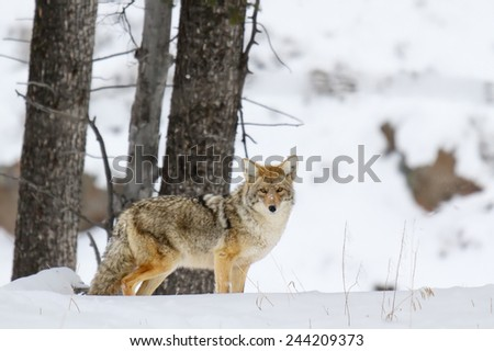 Coyote in winter at Yellowstone National Park. - stock photo
