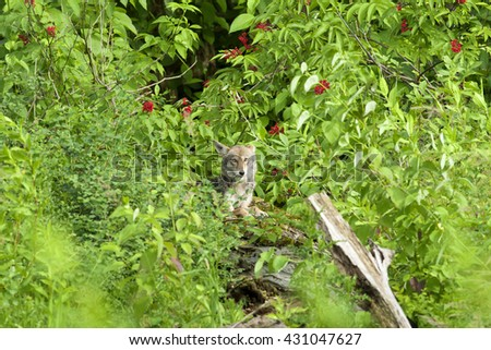 Coyote laying in forrest - stock photo