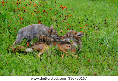 Coyote laying in wildflower field playing with cub. - stock photo