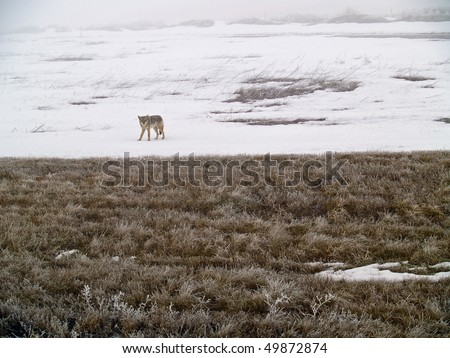 Coyote of the West Plains in Winter - stock photo
