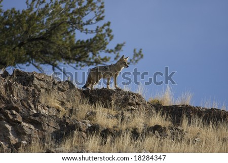 Coyote on Hillside Yellowstone National Park - stock photo