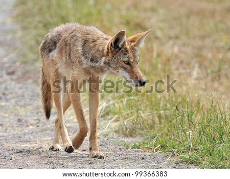 Coyote on the Prowl - stock photo
