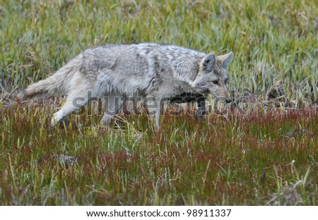 Coyote Pointing - stock photo