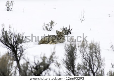 Coyote resting in the snow at Yellowstone - stock photo