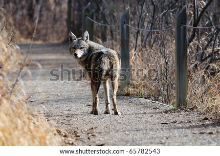 Coyote walking along the path at Inglewood Bird Sanctuary in Calgary, Alberta, Canada. - stock photo