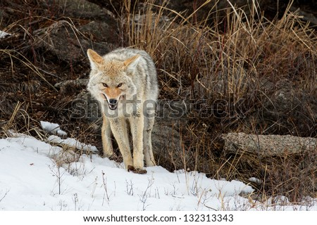 Coyote; Yellowstone National Park - stock photo
