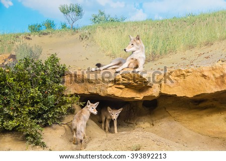 Coyotes in a Field resting in shade - stock photo