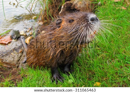 Coypu sniffing food. Funny moment in wildlife. - stock photo
