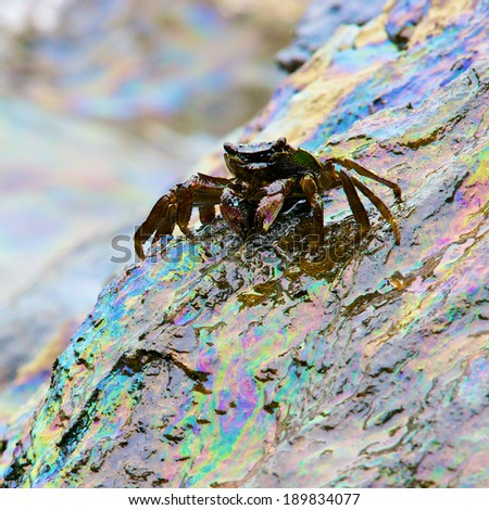 crab and rainbow reflection of crude oil spill on the stone at the beach, focus on crab - stock photo