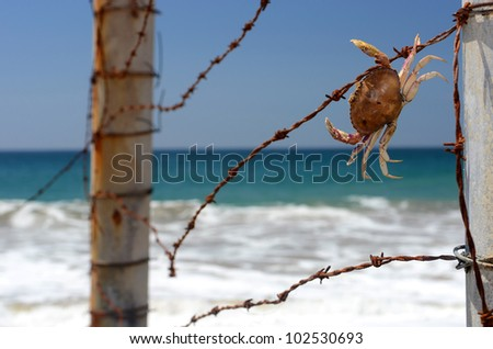 Crab caught in barbed wire near the ocean - stock photo