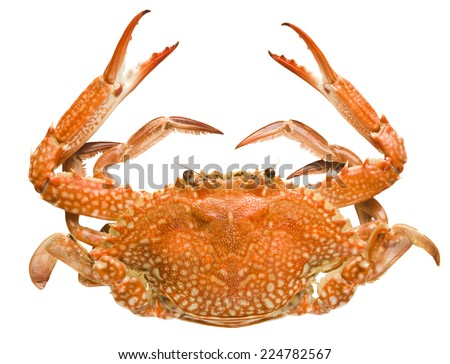 crab isolated on white background - stock photo