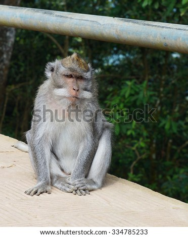 Crab monkey from island Bali - stock photo