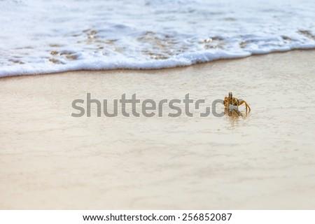 crab on the beach, Boavista - Cape Verde - stock photo