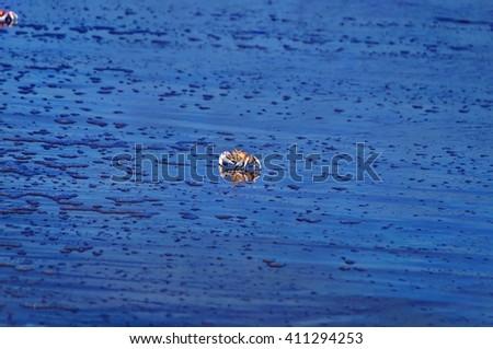 Crab reflected in water of Shela Beach in Lamu, Kenya - stock photo