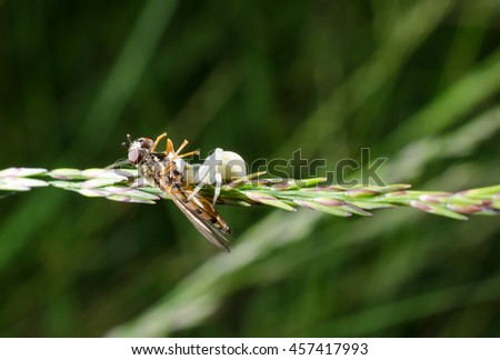 crab spider caught hover fly - stock photo