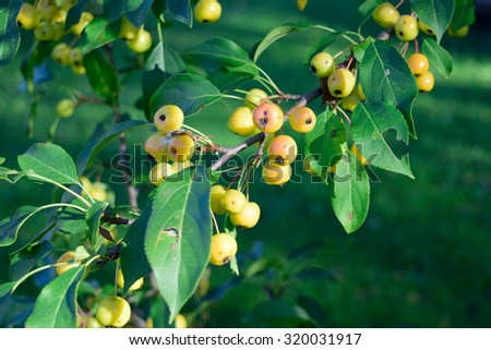 Crabapples (Malus) in Fall - stock photo