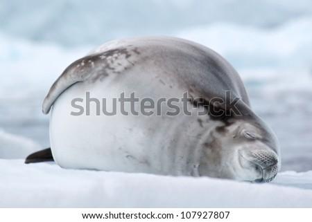 Crabeater seal asleep on an iceberg in antarctica - stock photo