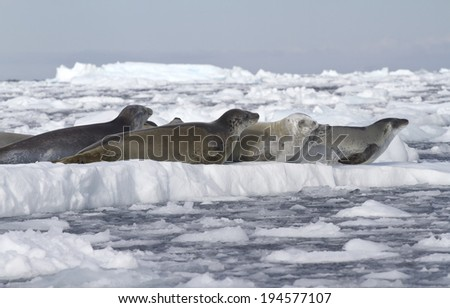 crabeater seals flock resting on an ice floe near the Antarctic Peninsula 1 - stock photo