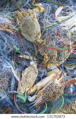 crabs in mesh - stock photo