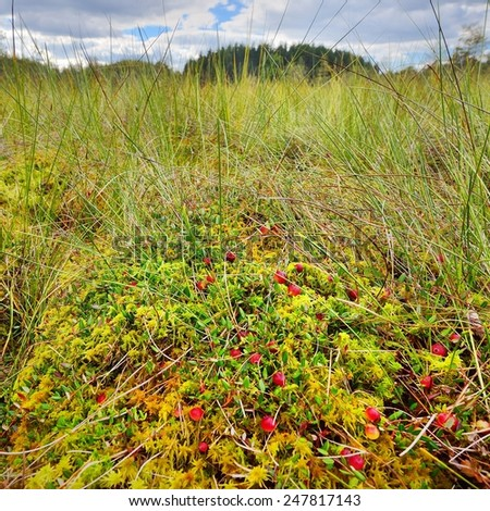 Cranberries and mushrooms growing in the bog. Latvia - stock photo