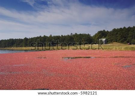 Cranberry Bog - stock photo