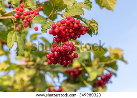 Cranberry ripe on a bush. Authentic farm series. - stock photo
