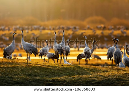 Crane birds (Grus grus) in morning light during a spring sunrise at Hornborgarsjon, Sweden - stock photo