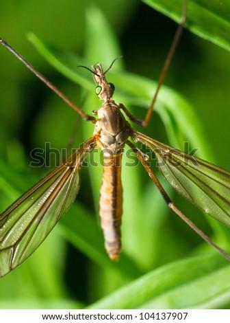 Crane fly macro - stock photo