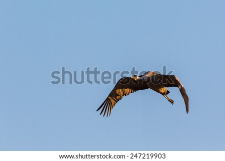 Crane flying in the sky at spring - stock photo