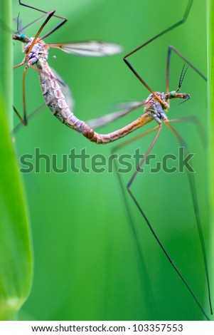 Craneflies (or daddy-longlegs) mating in a grassfield.. - stock photo