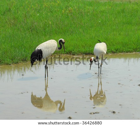 cranes with gree grass colors in the background (See more birds in my portfolio). - stock photo