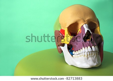 cranial model - stock photo
