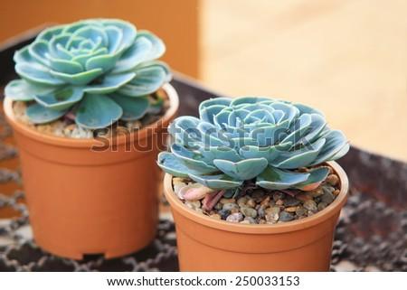Crasulaceae Houseleek Plant, cactus in garden - stock photo