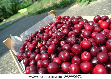 Crate filled with freshly picked ripe red cherries, in an orchard, on a sunny day. Concept of organic farming; fresh, natural, healthy, unprocessed fruit. Tilted view. - stock photo