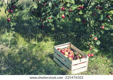 Crate of apples under apple tree - stock photo
