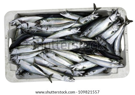 Crate of recently caught Mackerel isolated on white with clipping path - stock photo