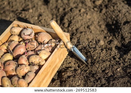 Crate of sprouted potatoes on bare soil background. selective focus  - stock photo