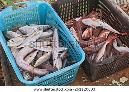 crates of freshly fish caught in the european adriatic sea  - stock photo
