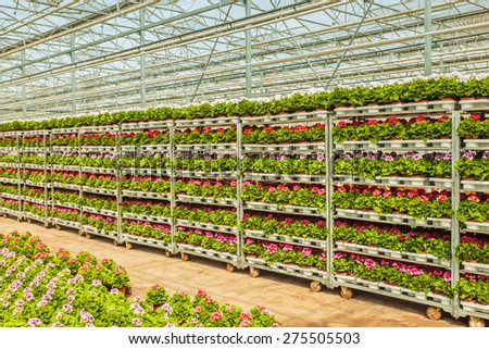 Crates with Dutch geranium plants in a greenhouse ready for export - stock photo