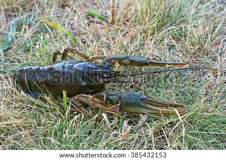 crayfish in the grass - stock photo