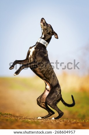 crazy and fun beautiful black young whippet dog puppy running and flying dog trick jump - stock photo