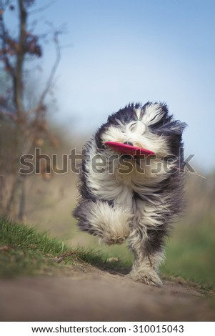 crazy Old English Sheepdog dog Bearded Collie puppy with frisbee running  - stock photo